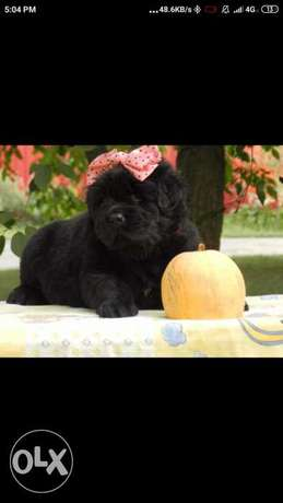 Imported newfoundland puppies from Europe