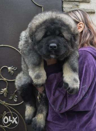 Imported Top Quality Caucasian Puppies Ready For Shipping
