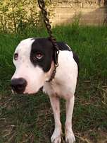 Pittbull adult. Female one and a half year