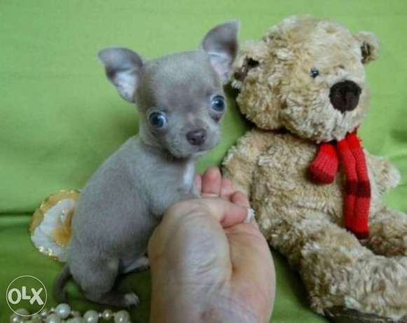 Imported mini chihuahua puppies,top quality with Pedigree and microchi