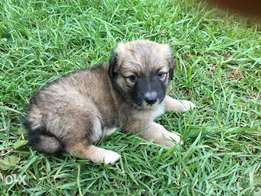 Female Terrier Puppy