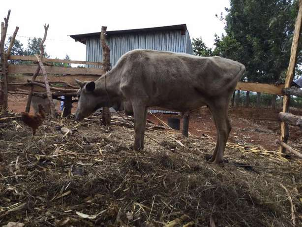 Cow for sale Kambirwa - image 3