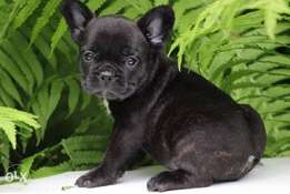 French bulldog puppies, imported with all documents.. Top quality