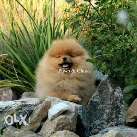 I will sell the handsome boy of the Pomeranian Spitz,