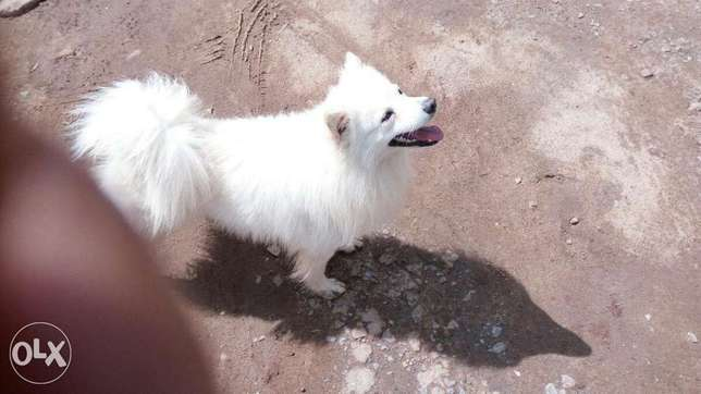 Pure Bread Japanese Spitz (Pure white) Lavington - image 1