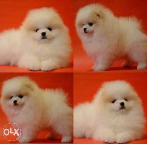 Imported teacup pomeranian puppies, max weight 1.5 kgs