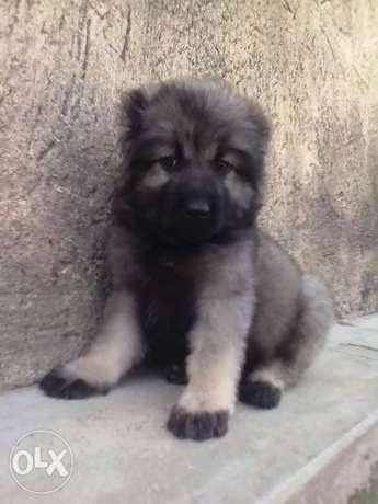 Male and female Caucasian puppy available for sale Ajeromi LGA - image 1