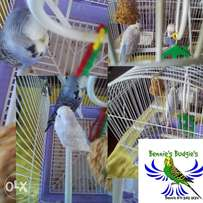 Show Budgies (Broei Past)