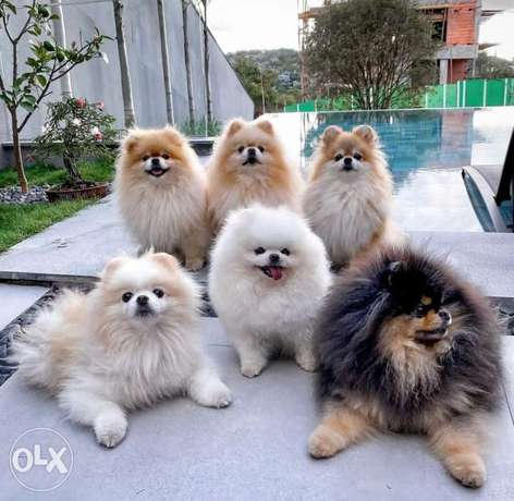 Teacup pomeranian puppies ( all colors and sizes)