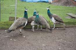 Peacocks males and females
