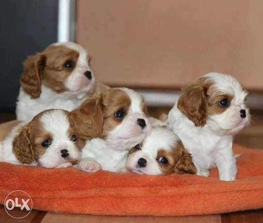Very Special Price Cavalier King Charles