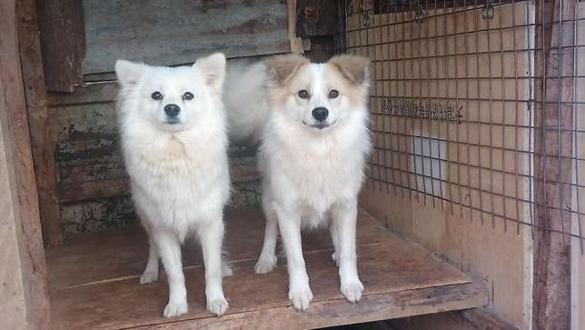 1 year old male Japanese spitz looking for a home Lower Kabete - image 4
