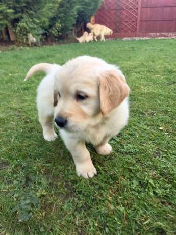 Gorgeous Golden Retriever Puppies for Sale Durban North - image 4