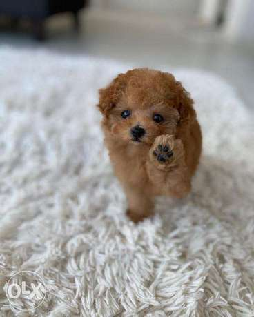 Orion– Teacup Poodle Puppy الغرافة -  3