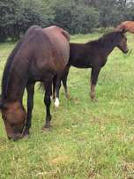 Lovely mare and foal for sale