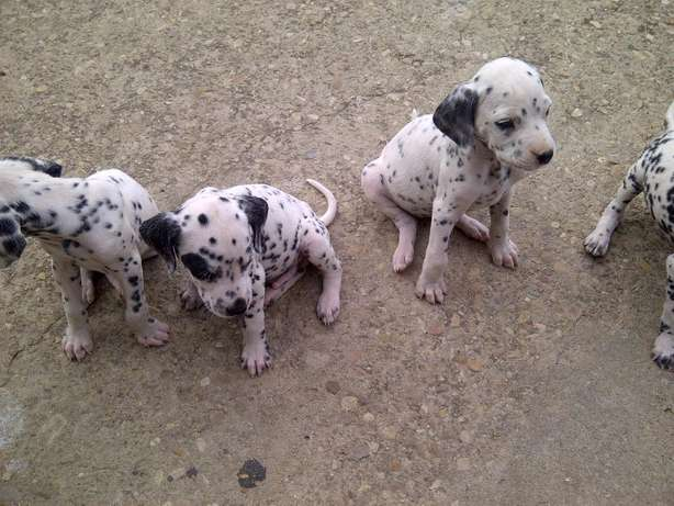 DALMATION puppies for sale Despatch, PE Port Alfred - image 7