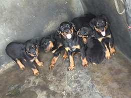 Rottweiler Pups for Sale!