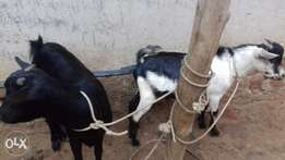 Selling two goats