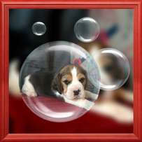 Beagle puppies for sale soon.
