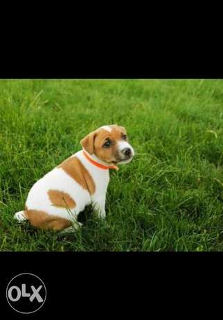 Imported jack Russell Puppies with all documents