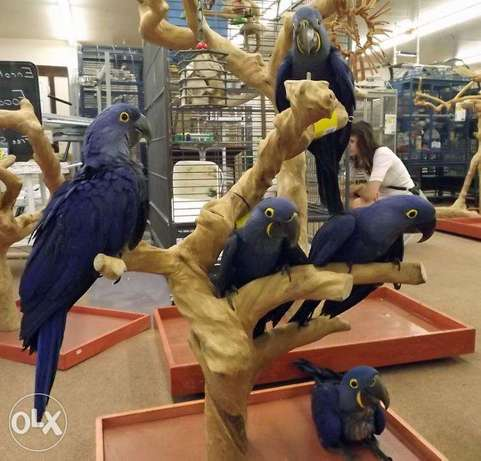 Tamed blue hyacinth Macaw parrots available