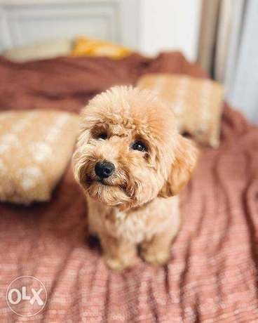 Toy poodle love puppy for sale