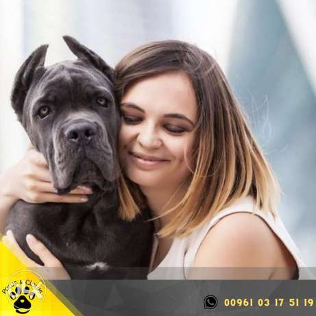 Cane Corso is very fond of children, an intelligent