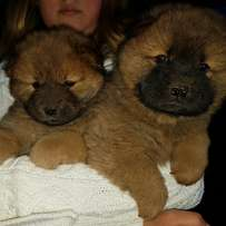 Awesome little chow chow puppies