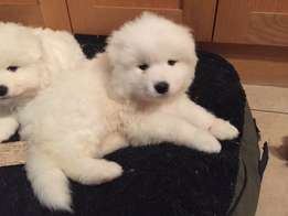 Active And Beautiful Samoyed Puppies Ready.