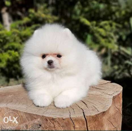 Pomeranian teacup puppies imported from Ukraine