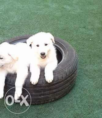 new imported white german puppies