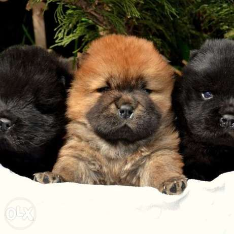 Great ChowChow