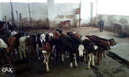 Dairy cows for sale