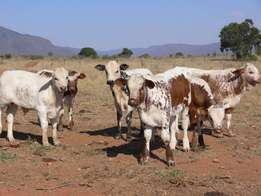 Nguni Calves dor sale