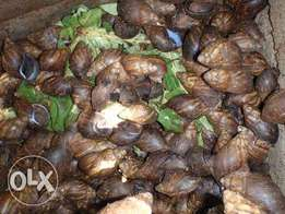 Snails (African Giant)