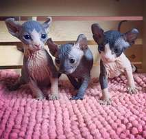 Gorgeous sphynx kittens available for sale