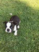 Boston Terrier male puppy