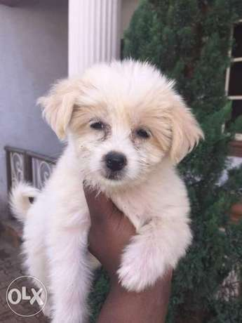 Cute Lhasa puppies for sale. Alimosho - image 1