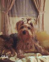 Pedigree Male Yorkshire Terrier for Sale
