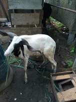 Ram for sale for Ileya special package or any yours .