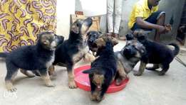 Pure breed German Caucasian puppy for sale in Port Harcourt