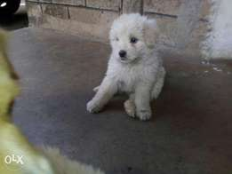 Selling two pomeranian puppies