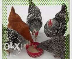 poultry farming training.