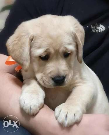 Top Quality Labrador Puppies you can get from Ukraine