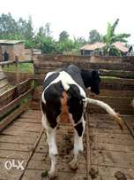 Pedigree Holstein Friesian Heifers 4-7 Months In-Calf