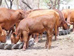 Unlimited prices for calves