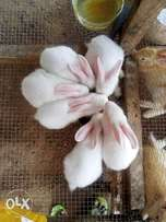 Buy your foreign Rabbits , Newzealand White and Newzealand Red.