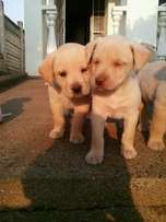 Cross Labrador pups