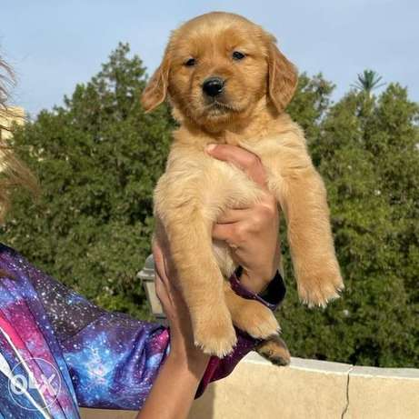 Availabile NOW in EGYPT Top Golden retriever puppies