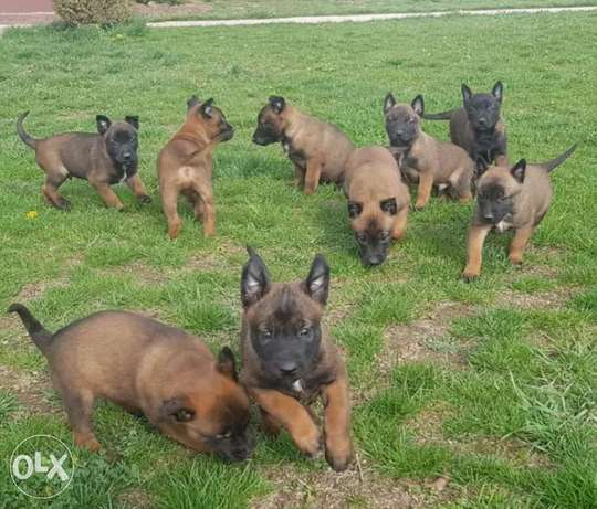Working Line Malinois Puppies